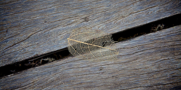 Leaf Skeleton on Old Wood. ~WIDE VIEW~