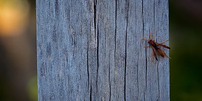 A striking Paper Wasp on a Post. ~WIDE VIEW~