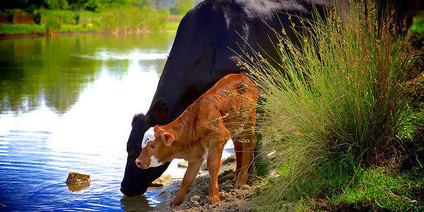 Black Angus cow and her newborn Hereford calf having his first water experience at the Dam. ~WIDE VIEW~