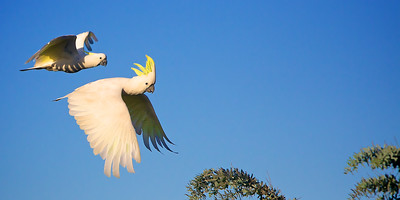 Happy faces of two Australian sulpher-crested cockatoos in flight. ~WIDE VIEW~