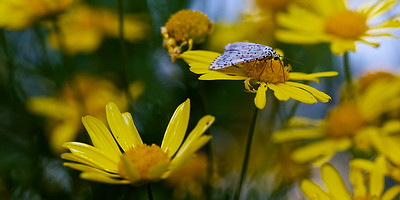 A heliotrope moth settles on a worn out daisy in the garden. ~WIDE VIEW~