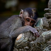 Baby Macaque Monkey. ~WIDE VIEW~
