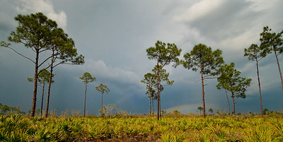 Summer storm over open pine flatwoods in central Florida