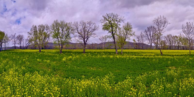Mustard Field 5016-21 Panorama LF