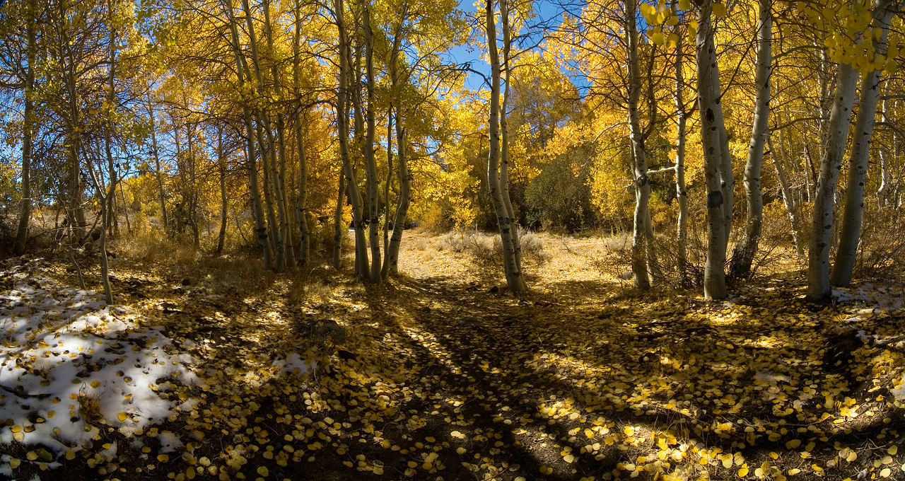"""Golden Aspens"" - near Mammoth Lakes, CA"
