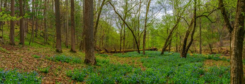 Bluebells 8993-9000 Panorama