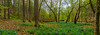 Bluebells 8993-9000 Panorama