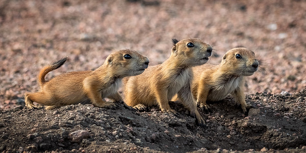 Three baby prairie dogs photographed in Colorado.