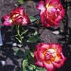 The Glen Burnie Gardens - 07-20-08 - 061 NX_dxo