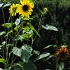 The Glen Burnie Gardens - 07-20-08 - 052 NX_dxo