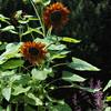 The Glen Burnie Gardens - 07-20-08 - 053 NX_dxo