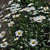 The Glen Burnie Gardens - 07-20-08 - 045 NX_dxo