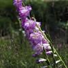 The Glen Burnie Gardens - 07-20-08 - 078 NX_dxo