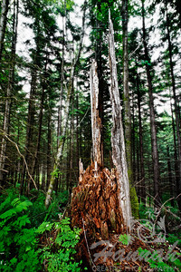 A dead tree found in the forest of L.L. Stub Stewart State Park in Oregon  © Copyright Hannah Pastrana Prieto