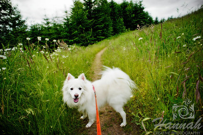 An American Eskimo dog on a trail at L.L. Stub Stewart State Park in Oregon  © Copyright Hannah Pastrana Prieto