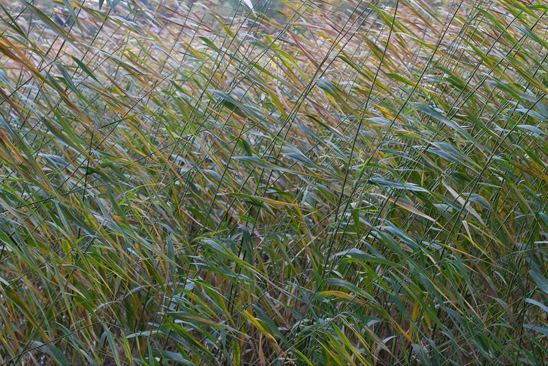 Reed on lake