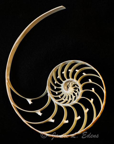 """Nautilus Spiral"""
