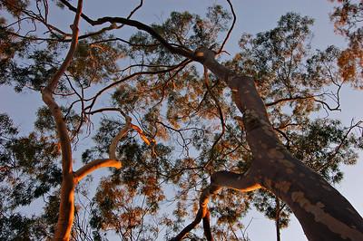 """""""Eucalyptus Consciousness"""""""