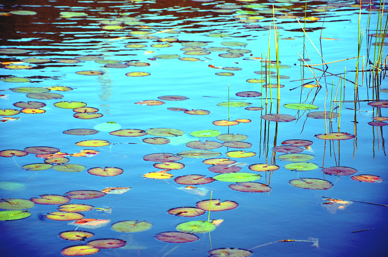 Colourful Waterlily Pads