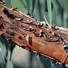 Miniritch Bark of Eucalyptus caesia II