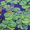 Waterlily Pads on Deep Blue