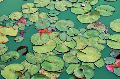 Serene Green Waterlilies