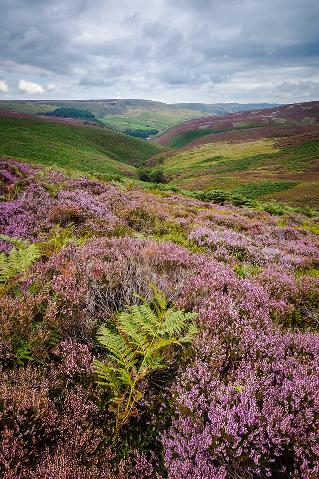 Heather on the Moors 2
