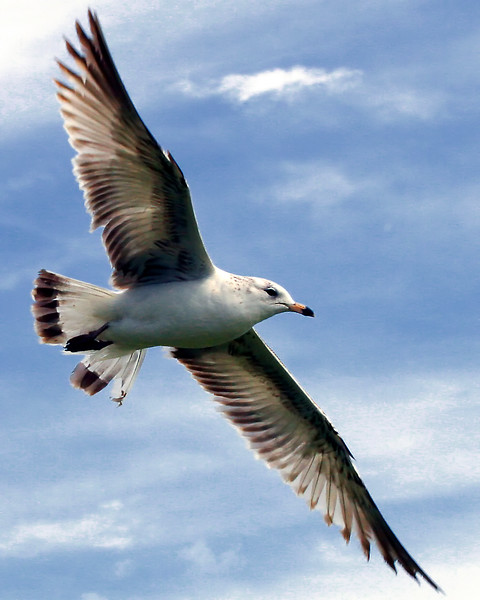 Seagull Wings Spread in Flight