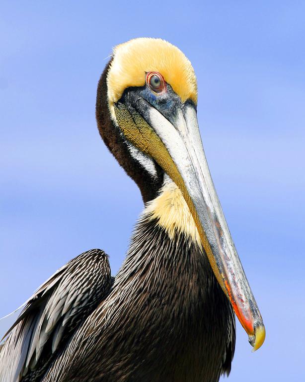 Brown Pelicans incubate their eggs with their feet.