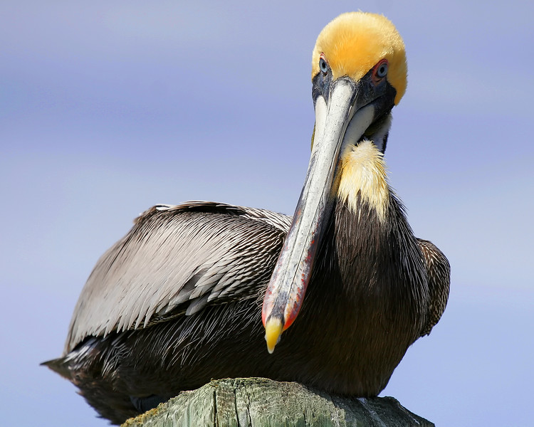 Brown Pelicans are the only pelicans that dive from the air into the water to catch food