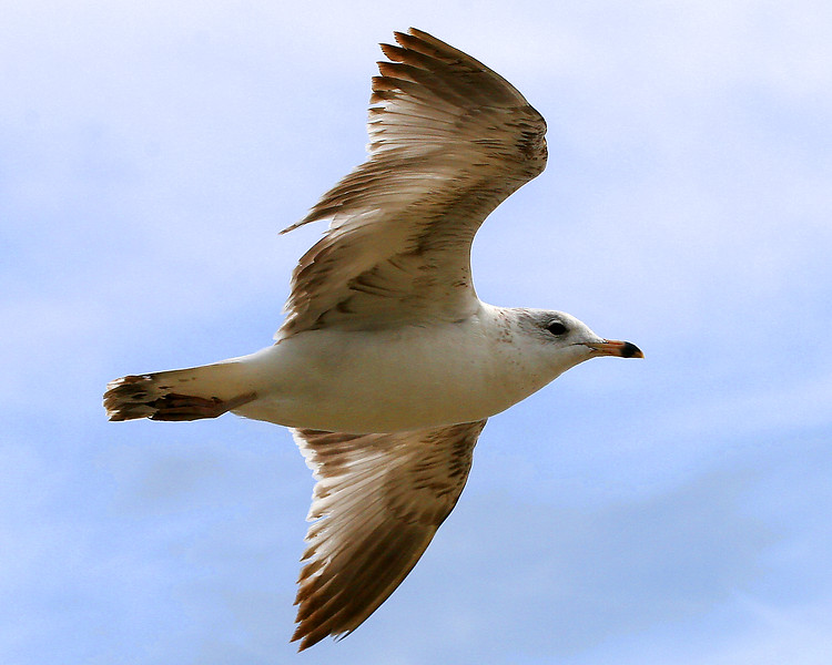 Herring Gull (Larus argentatus) in flight along North Carolina Coast