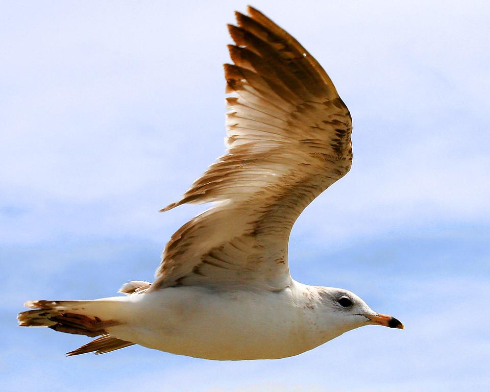 Herring Gull in flight.