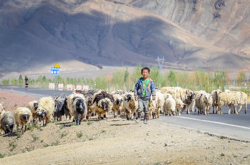 Herding Sheep in Tibet