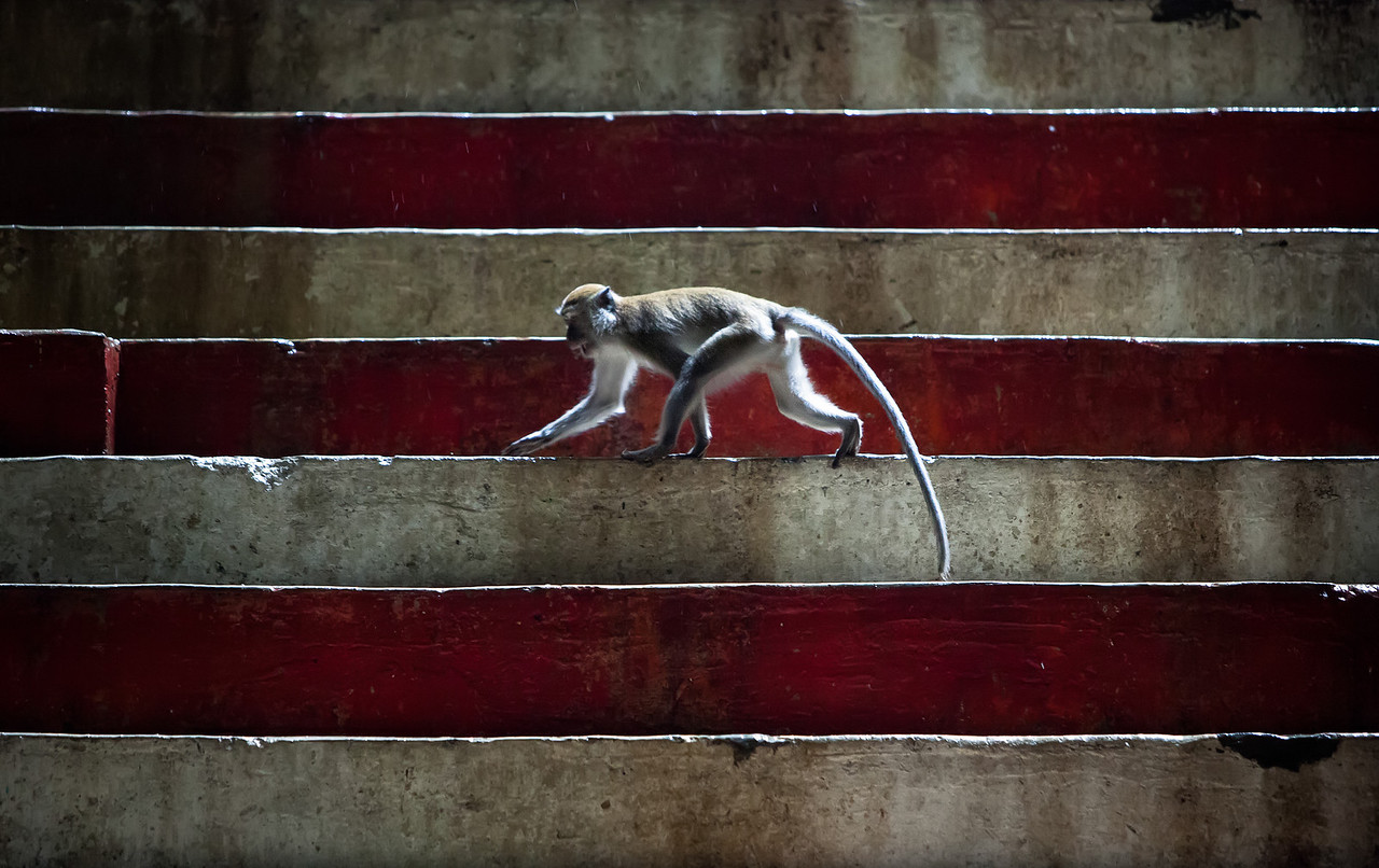 Monkey On The Steps A Macaque monkey roams across the coloured steps deep inside the Batu Caves in Kuala Lumpur, Malaysia.