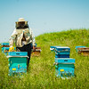Bee hives  in the fields around Ani. Eastern Turkey.