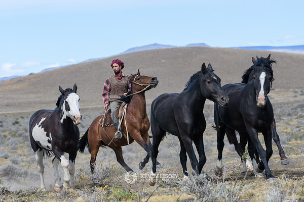Gaucho drives a herd of horses in Patagonia