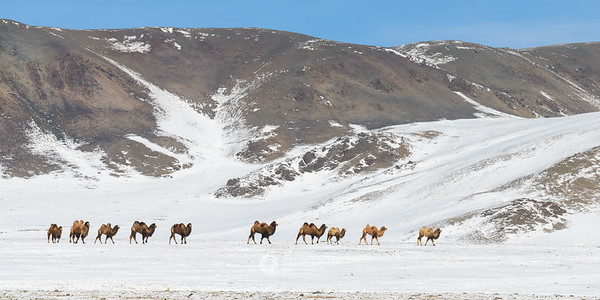 Caravan of Bactrian camels in the Altai Mountains