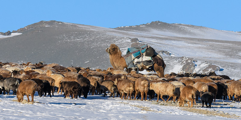 Bactrian camel stands watch over herd of goats and sheep