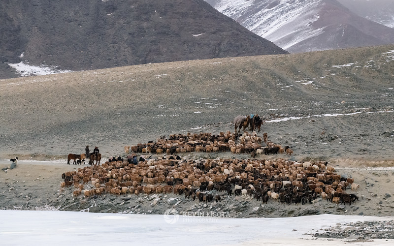 Herd of goats & sheep in Western Mongolia