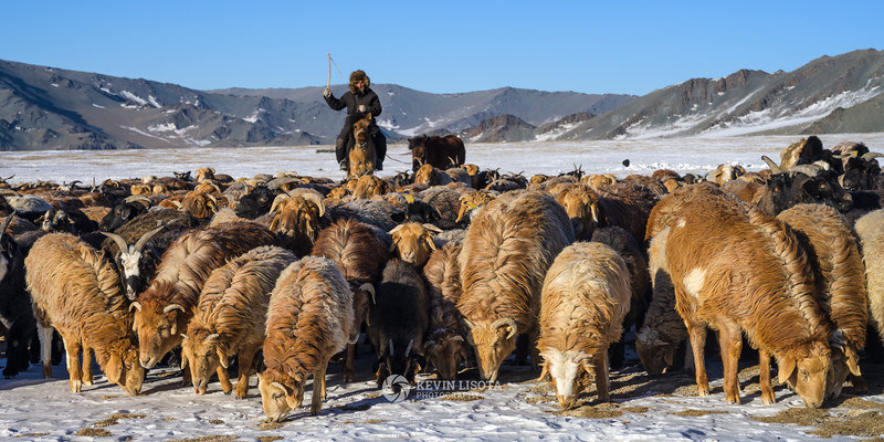 Herder with goats and sheep in Western Mongolia