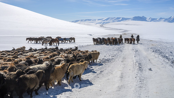 Traffic jam of goats, sheep and horses migrating to their spring pastures
