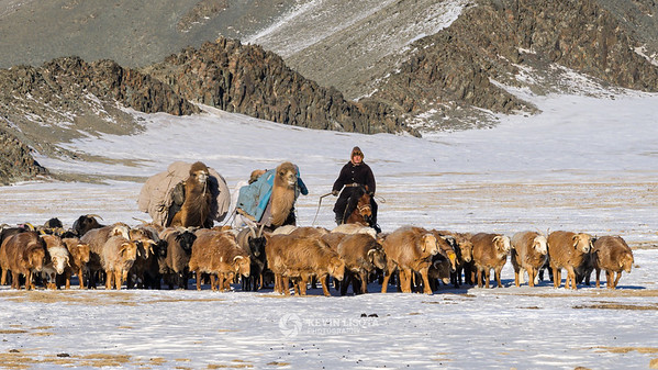 Herder with goats, sheep and camels in Western Mongolia