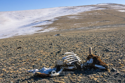 Cow carcass in Western Mongolia