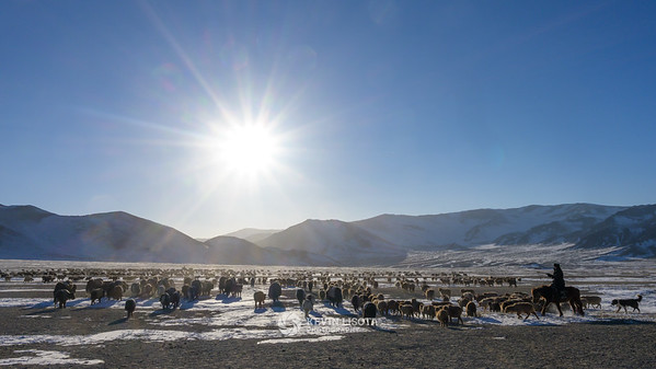 Herd of goats, sheep, cows and yaks migrating in the Altai Mountains of Western Mongolia