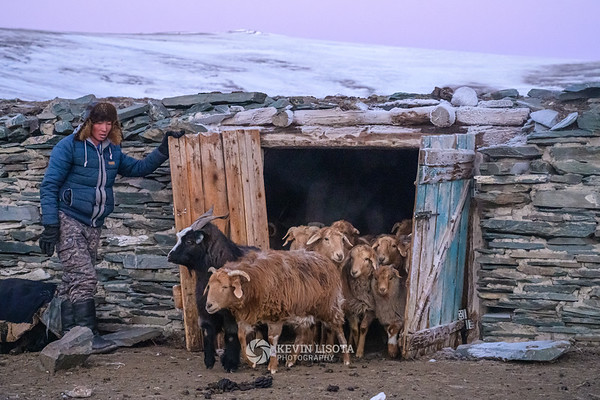 Herder lets sheep and goats out of their pen