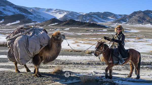 Bactrian camel helps carry a ger tent in Mongolia
