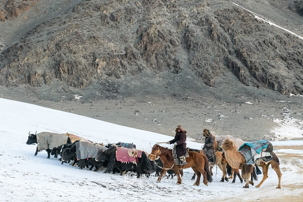 Nomadic herders direct cows, yaks and camels