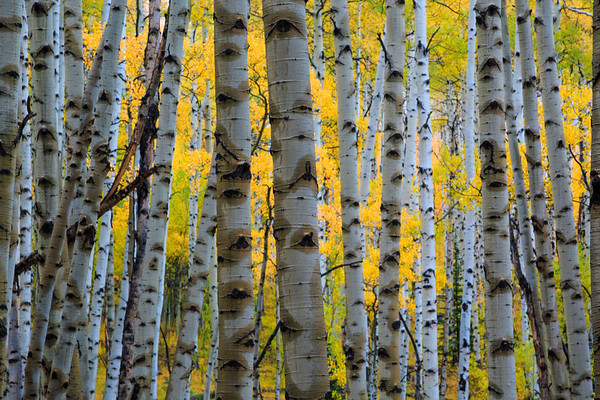 Fall Aspen Grove
