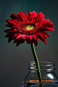 Red Gerber Daisy