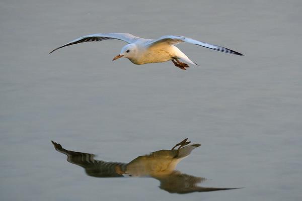 Seagull reflection